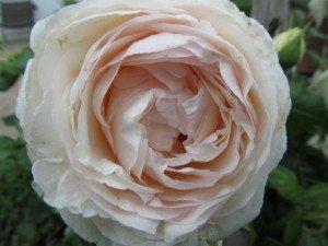 192_fleur_rose_mini_640